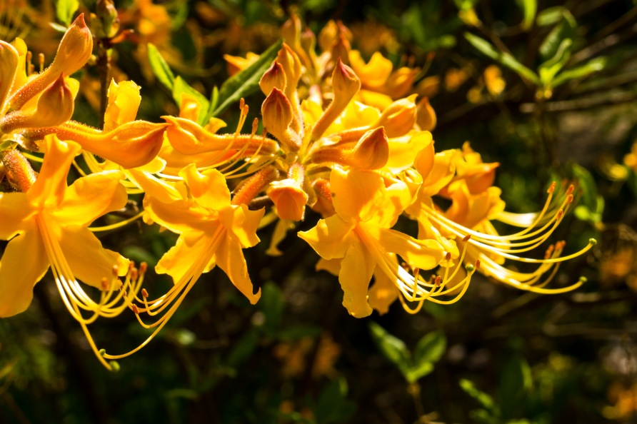 Yellow-orange azalea.