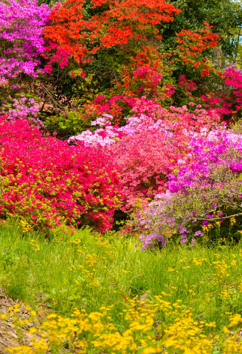 Massed azaleas and wildflowers at Biltmore Estate Gardens.
