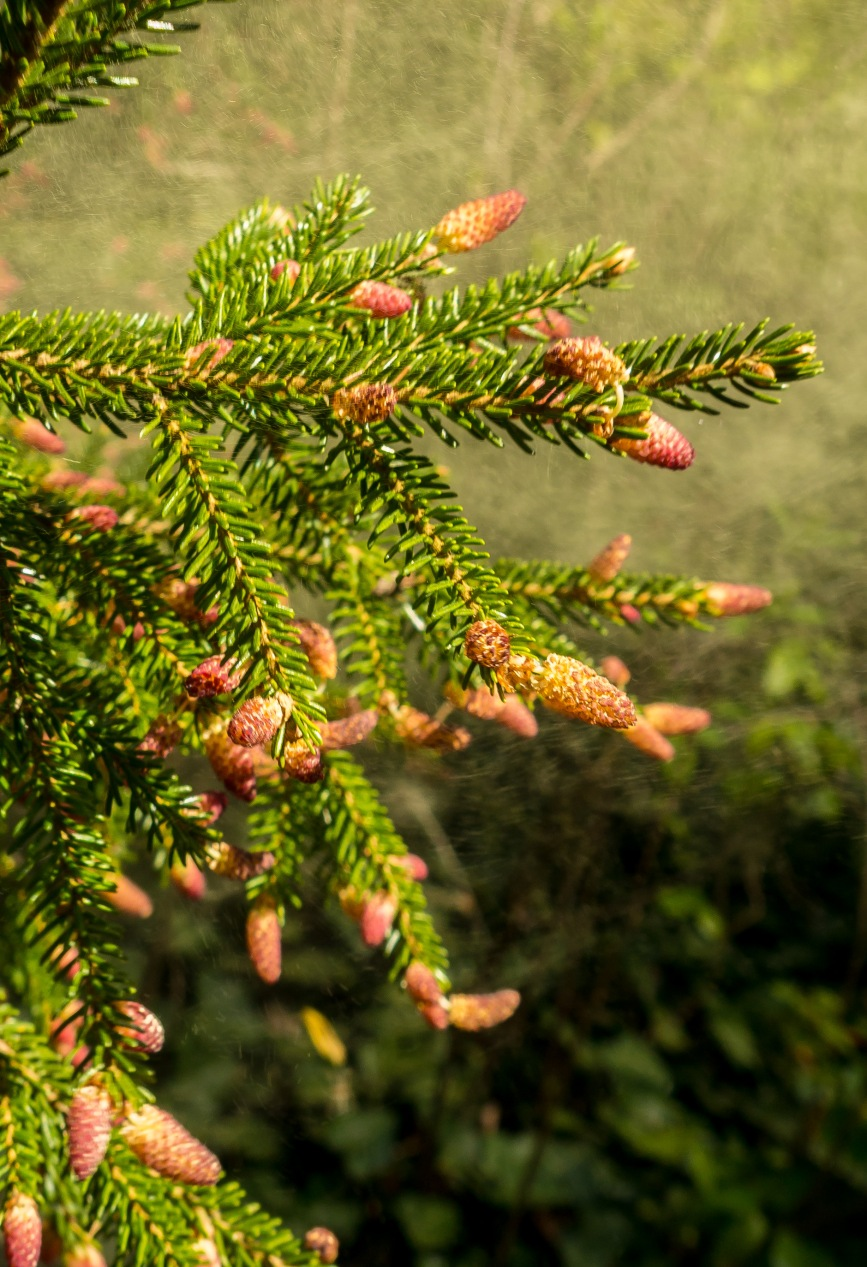 Conifer shaking out a lung-full of pollen!