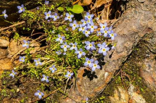 Bluets at Wintergreen Falls