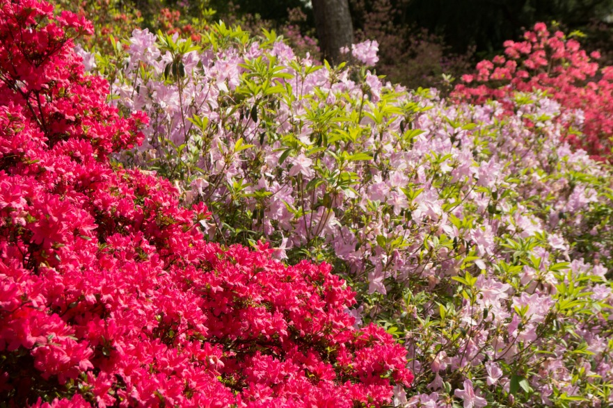 Massed azaleas at Biltmore Estate Gardens.